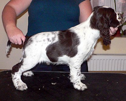English springer spaniel BEEFEATER SUNSET   TIFERET