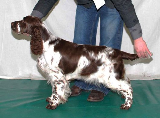 English springer spaniel SH CH. MELVERLY SOPHISTIQUE